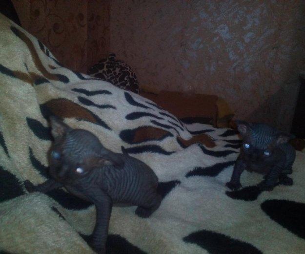 Кошечка сфинкс. Фото 4. Саратов.