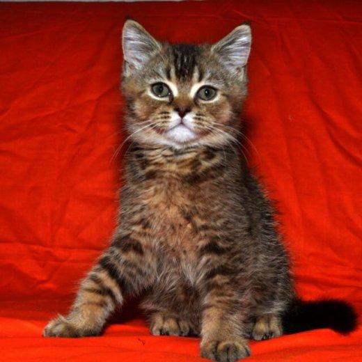 Шотландские вислоухие котятки. Фото 1. Краснодар.
