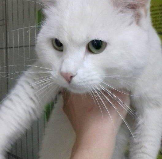 Кот в добрые руки, белый кот даром,котик тим. Фото 1. Москва.