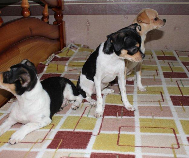 Чихуахуа щенки. Фото 1. Фрязино.