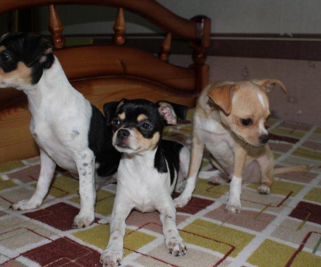 Чихуахуа щенки. Фото 2. Фрязино.