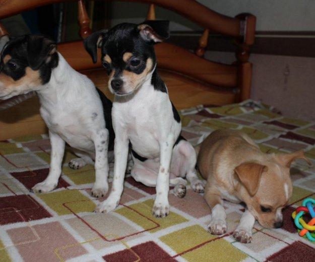 Чихуахуа щенки. Фото 4. Фрязино.