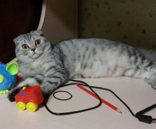 Продам шотландского котенка. Фото 2. Саратов.