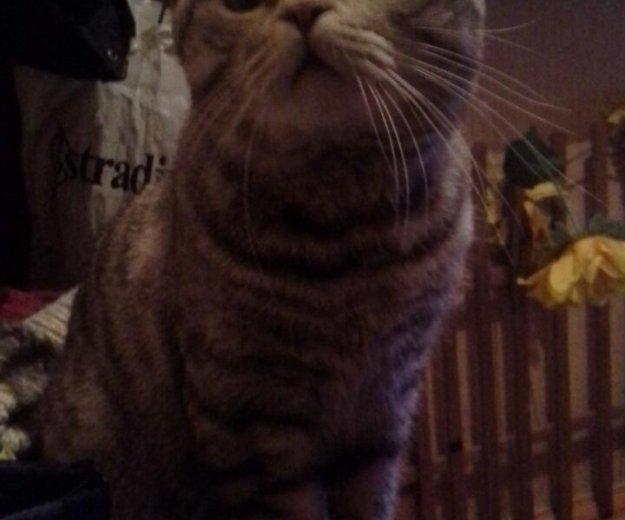 Кот шотландец с родословной. Фото 1. Липецк.