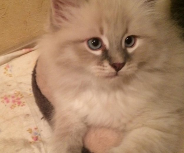 Невская маскарадная , котята. Фото 1. Новороссийск.