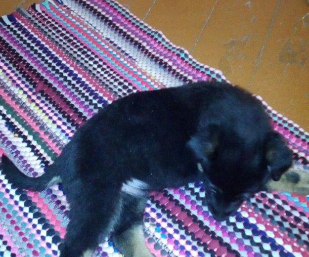 Отдам щенка в хорошие добрые руки. Фото 3. Биробиджан.