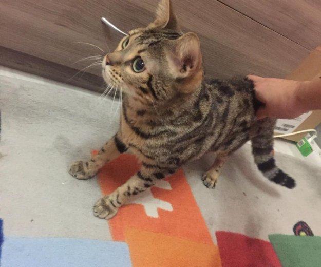 Бенгальская кошка. Фото 2. Москва.