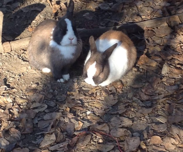 Кролики карлики , 3 шт. Фото 2. Хасавюрт.