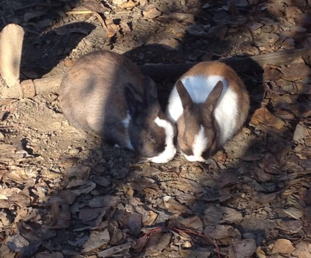 Кролики карлики , 3 шт. Фото 1. Хасавюрт.