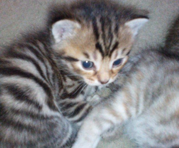 Котята от бенгальского кота. Фото 1. Сургут.