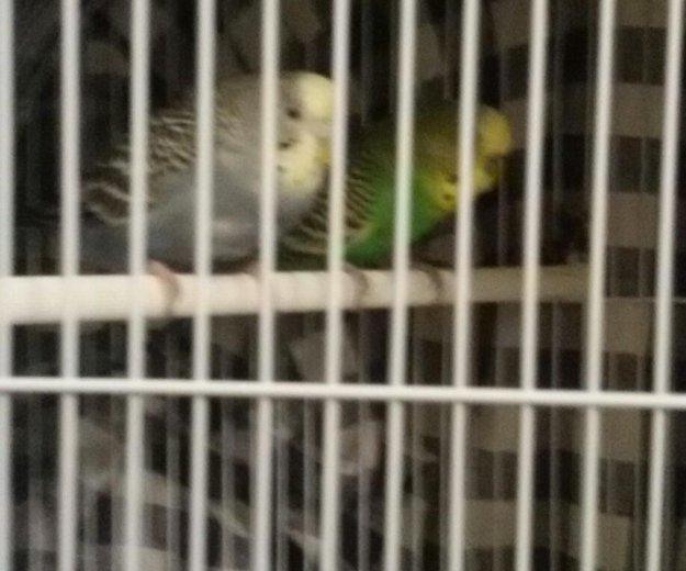 Продам волнистых попугаев вмести с клеткой. Фото 1. Якутск.
