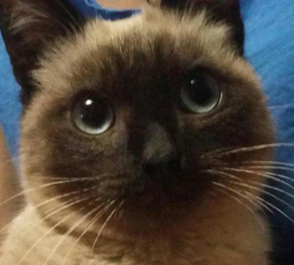Котик сиамский. Фото 1. Белово.