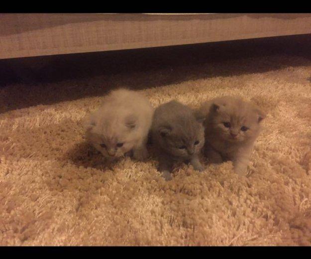 Котята британские. Фото 2.
