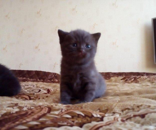 Британские котята. Фото 1. Ярославль.