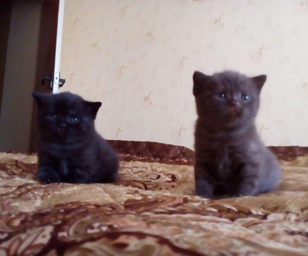 Британские котята. Фото 2. Ярославль.