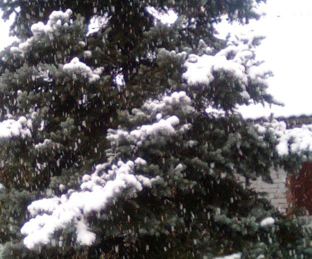 Голубая ель. Фото 1. Новороссийск.