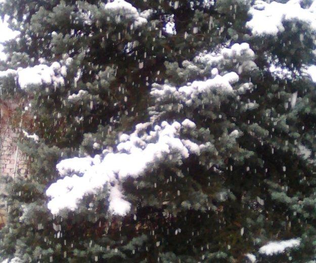 Голубая ель. Фото 3. Новороссийск.
