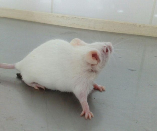 Мыши кормовые. Фото 2. Москва.