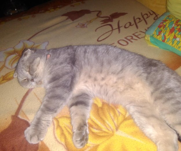 Британская кошка. Фото 1. Калининград.