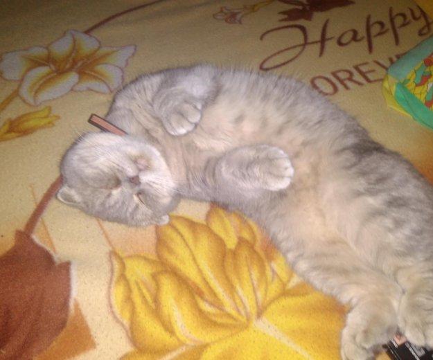 Британская кошка. Фото 4. Калининград.