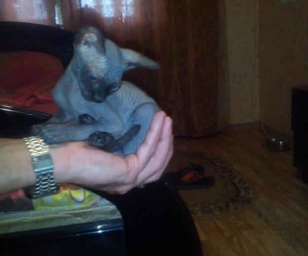 Кошечка сфинкс. Фото 1. Саратов.