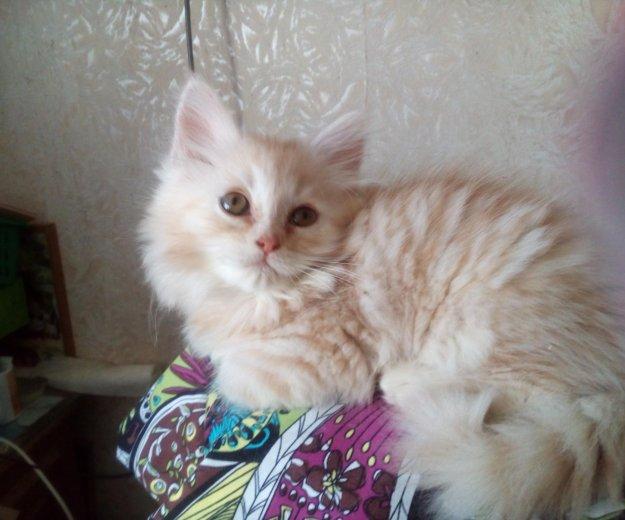 Кремовый котейка. Фото 3. Волжский.