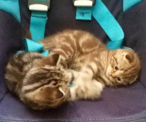 Продам шотландского котенка. Фото 3. Саратов.