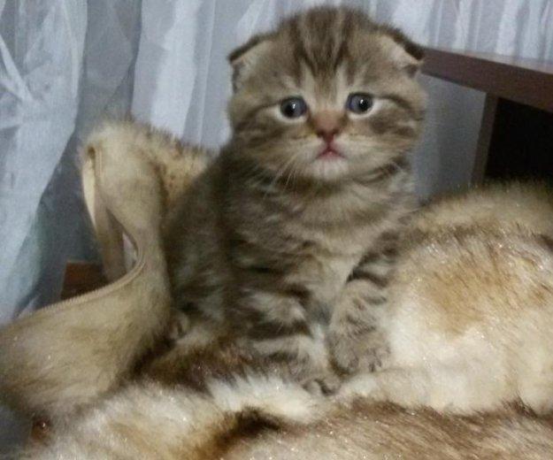 Продам шотландского котенка. Фото 4. Саратов.