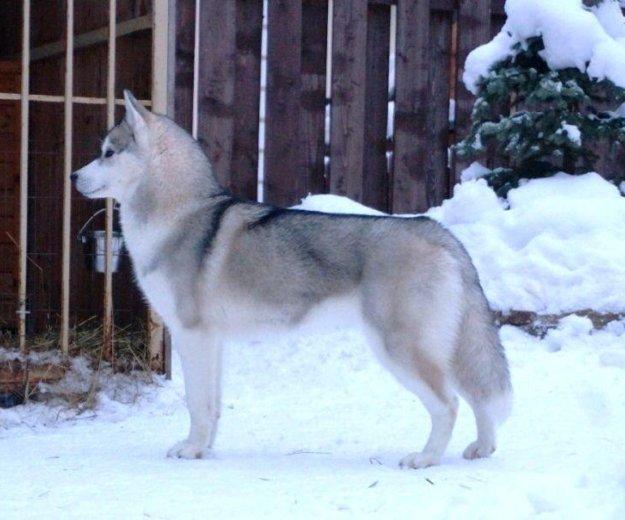 Сибирский хаски щенок. Фото 3. Пушкино.