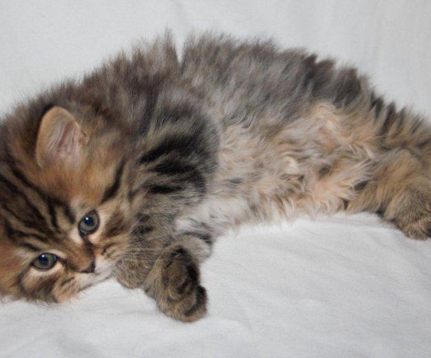 Шотландские котята. Фото 2. Казань.