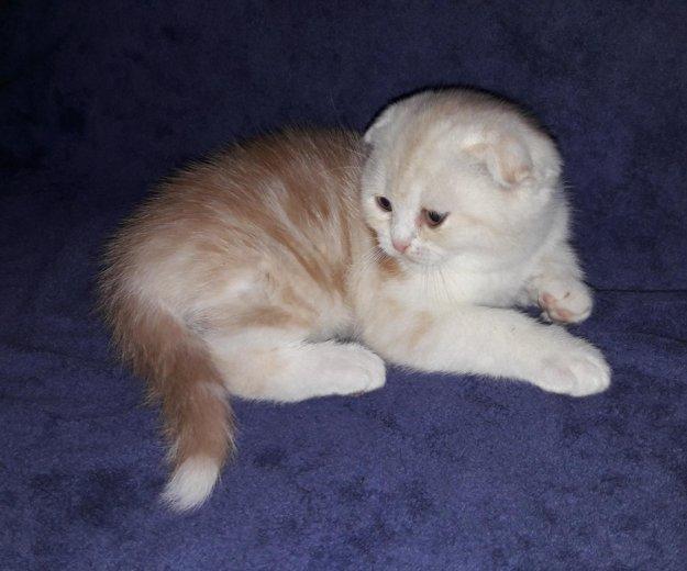Шотландские котята. Фото 1. Благовещенск.