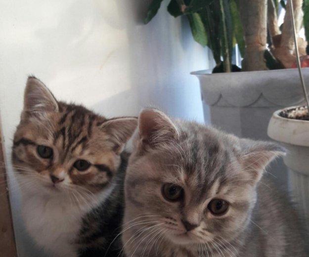 Шотландские котята. Фото 2. Благовещенск.