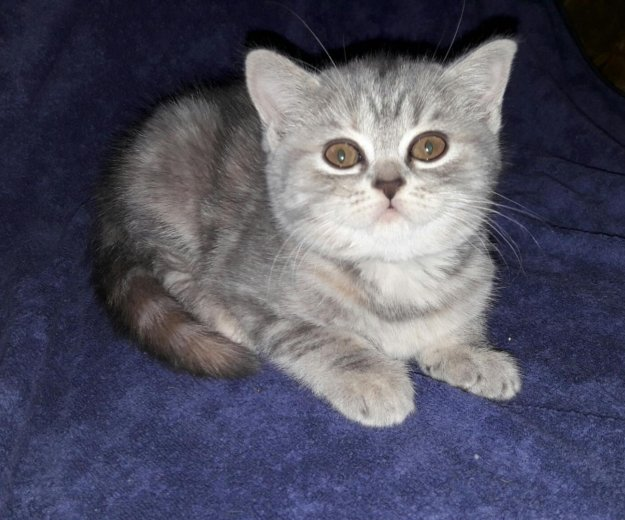 Шотландские котята. Фото 4. Благовещенск.