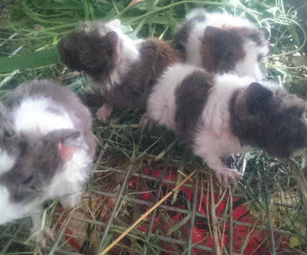 Морские свинки из домашего питомника. Фото 3. Новосибирск.