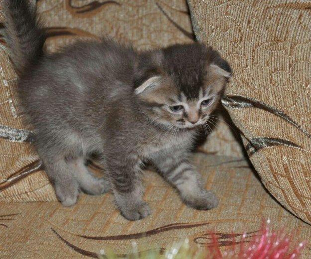 Шотландские вислоухие котятки. Фото 4. Краснодар.