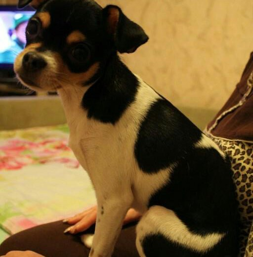 Чихуахуа девочка щенок. Фото 2. Фрязино.