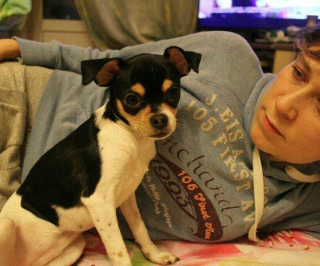 Чихуахуа девочка щенок. Фото 3. Фрязино.