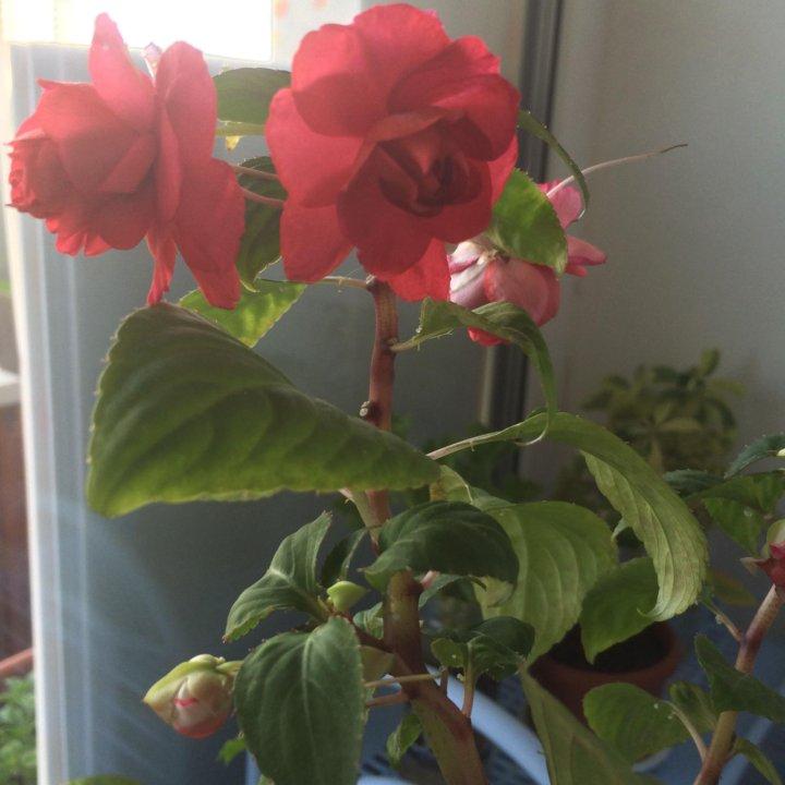 Цветок ванька мокрый купить семена