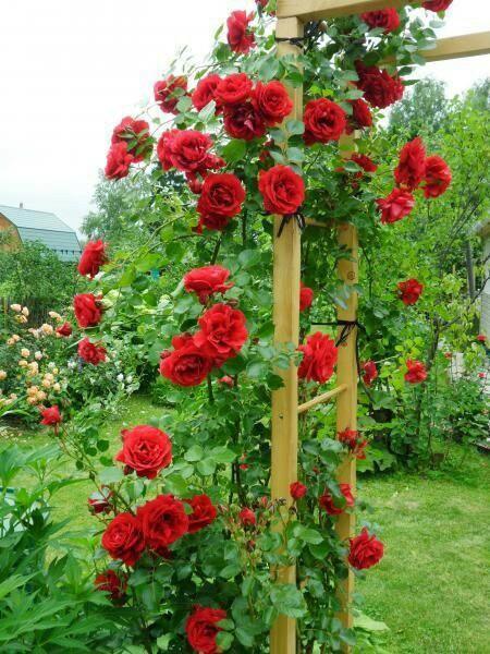 роза симпатия плетистая фото хочу показать