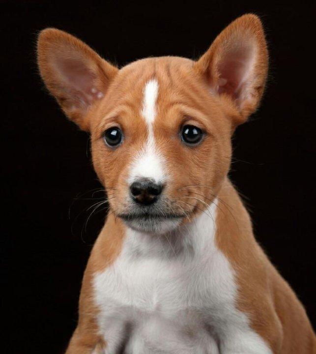 собака нелающая