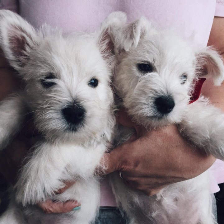 картинки с щенками вестика отчаивалась совету подруги