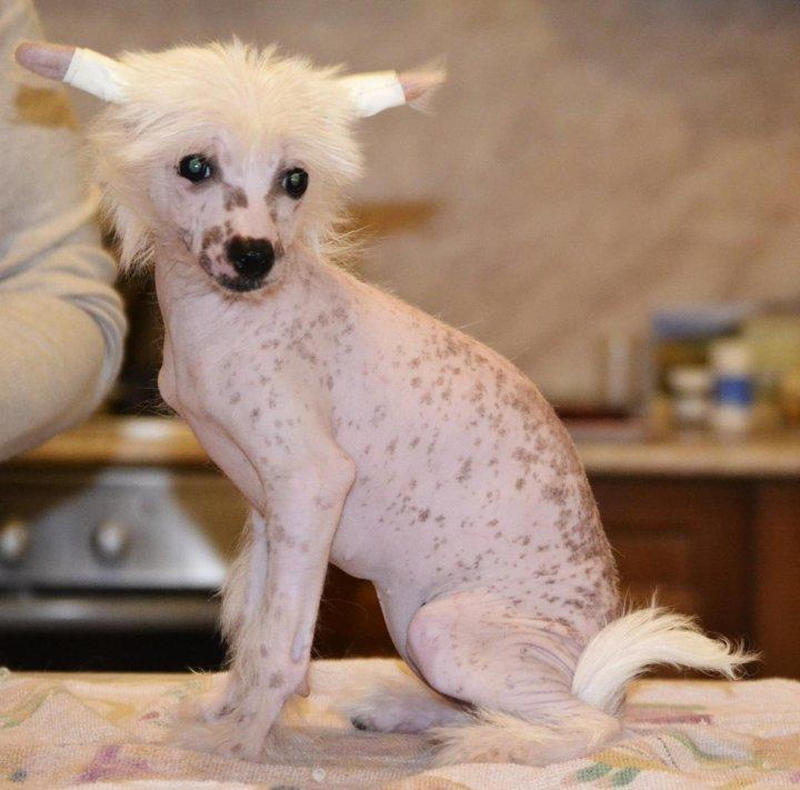 Диета Китайской Хохлатой Собаки. Памятка по питанию китайской хохлатой собаки