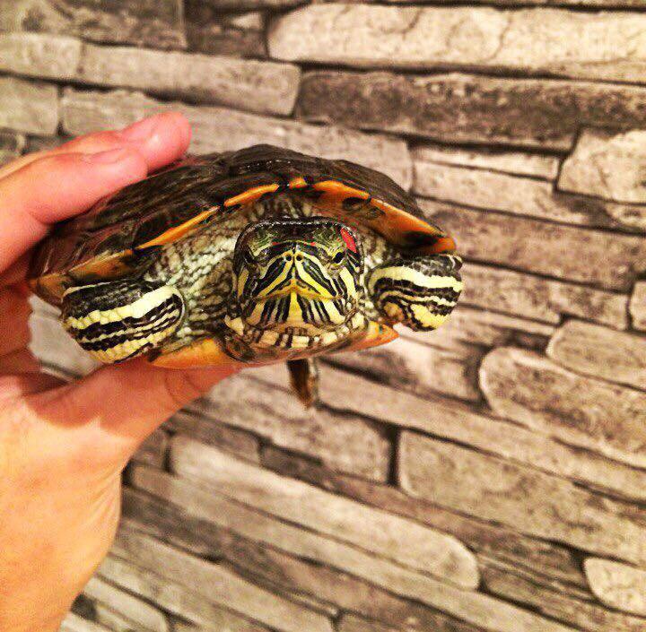 Картинки красноухих черепах девочек