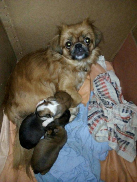 фото щенка пекинеса в три недели трибун были