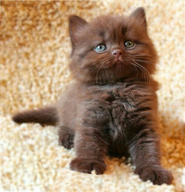 котенок британец фото шоколадный идеальный