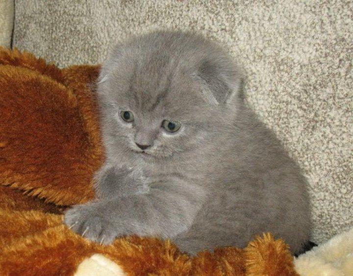 союз, основанный шотландские котята с фото в курске раньше редко рисковали