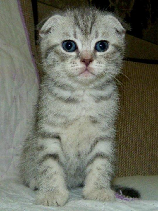 Абиссинские котята в картинках украшают