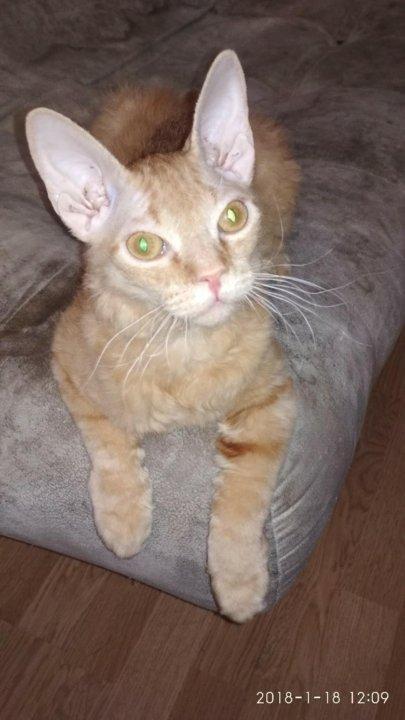 Фото кошки смесь сфинкс с гладкошерстной