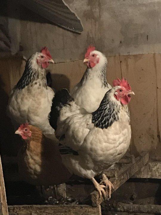 Купить цыплят несушек в московской области
