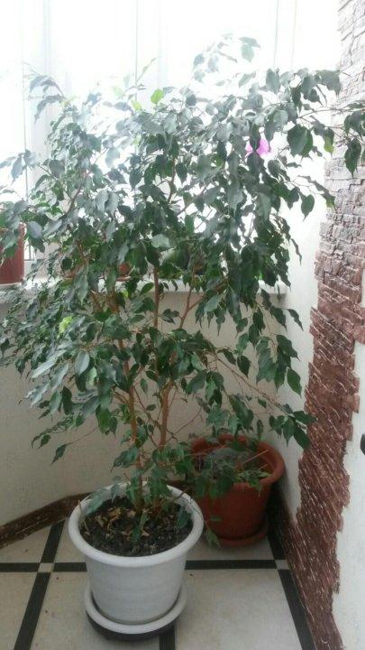 комнатные цветы дерево